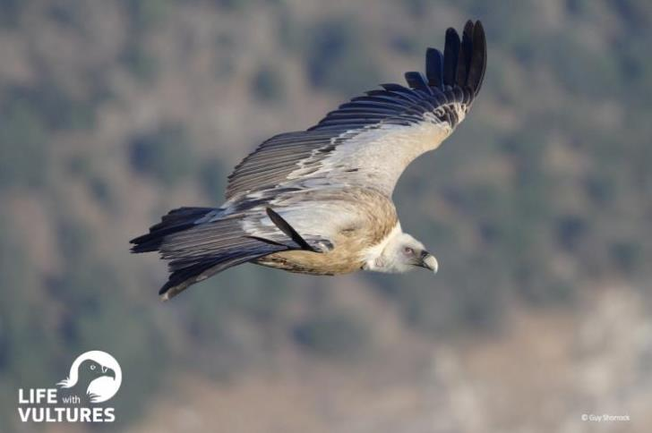 LIFE with Vultures: Πρόγραμμα διάσωσης του γύπα στην Κύπρο